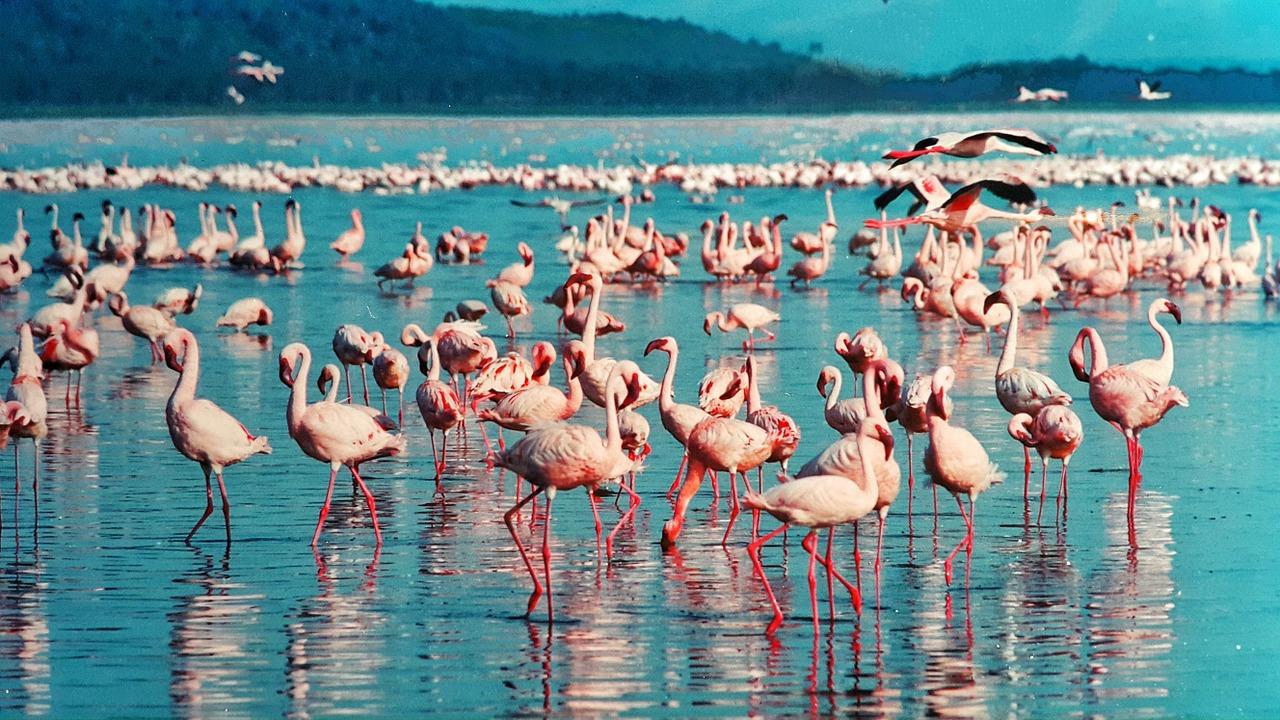 אגם נקורו בקניה